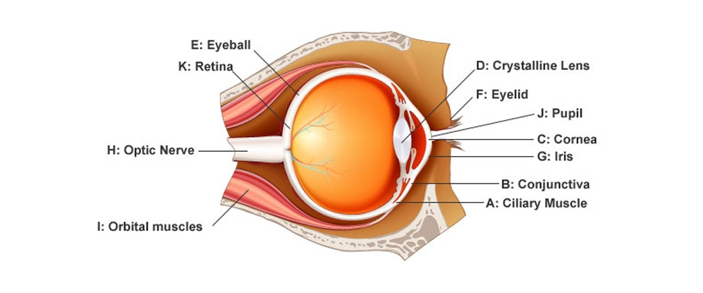 Douglas And Cobane Anatomy Of The Eye